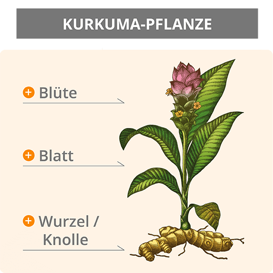 pflanze-kurkuma-ratgeber-infografik